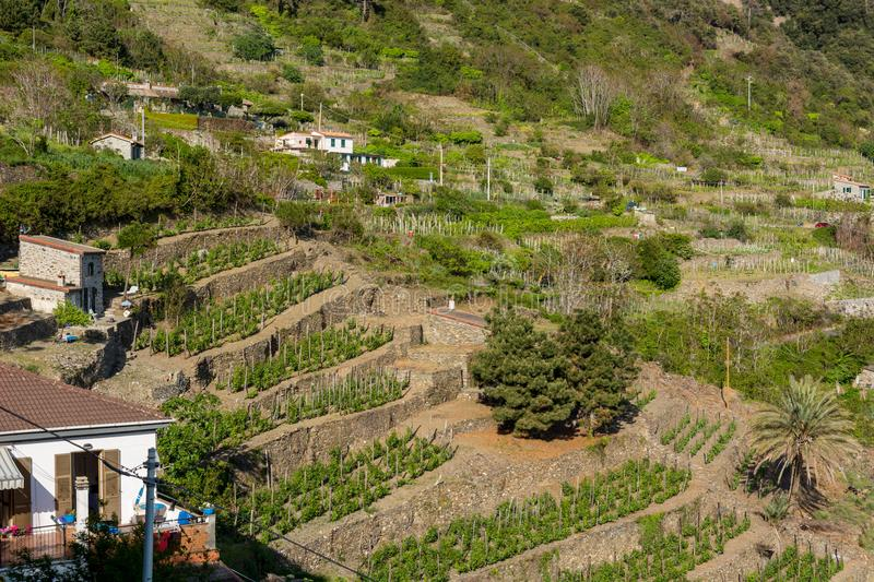 Terraced vinyard on a steep hill. Agricultre in Cinque terre, Italy stock photography
