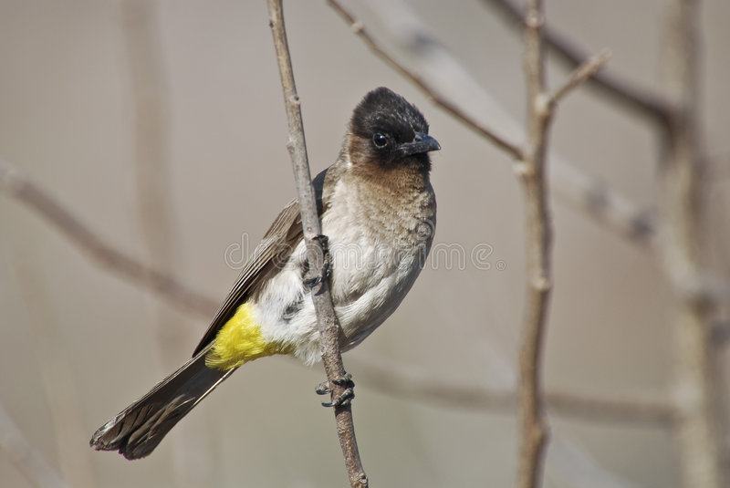 terrain communal blackeyed de bulbul photos libres de droits