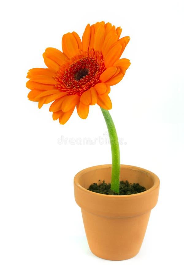 terrakotta för kruka för blommagerbera orange arkivbilder