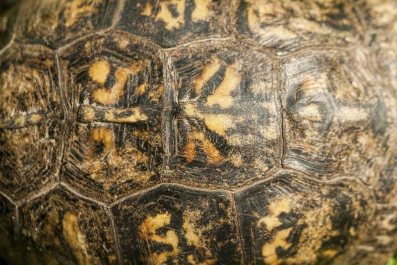 Terrapene carolina do escudo da tartaruga de caixa de Alabama fotografia de stock