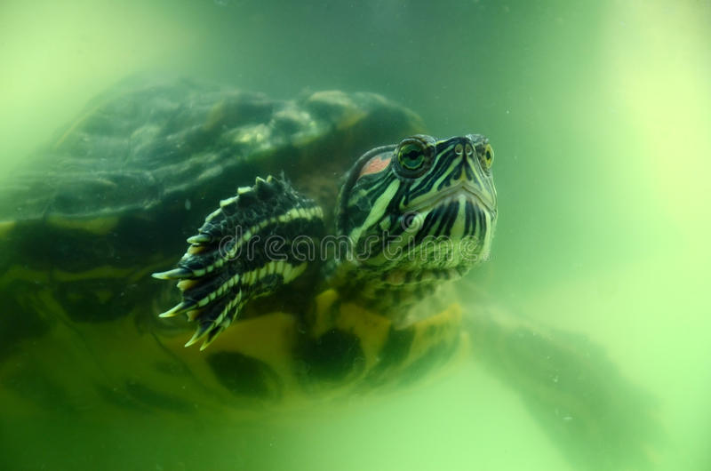 Terrapin Underwater Stock Images