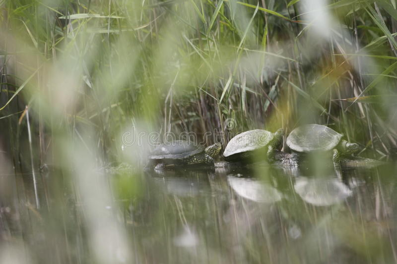 Terrapins rest on a tree stump royalty free stock photo
