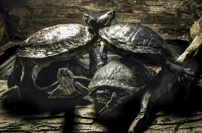 Terrapins - stacked on top of each other. A picture of 4 terrapins balanced across each other at London aquarium - Sea Life centre stock photography