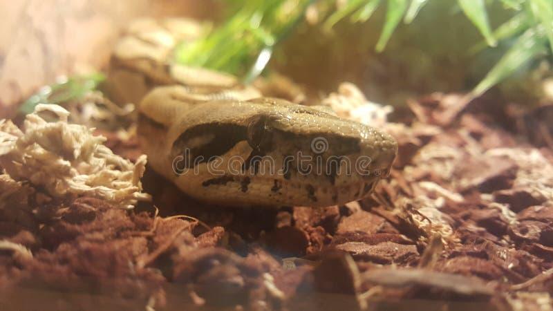 Terrario di Longicauda del boa constrictor di Schlange del serpente fotografie stock libere da diritti