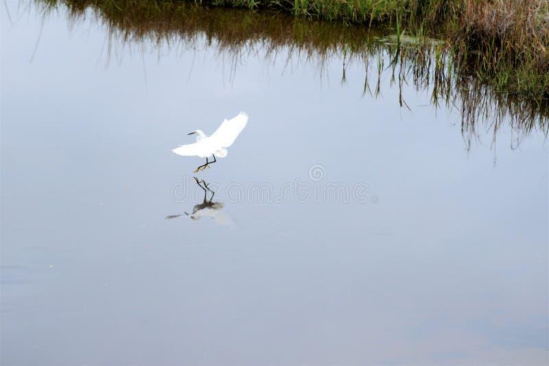 Terras de um Egret nevado no rio do greenway em Amelia Island foto de stock