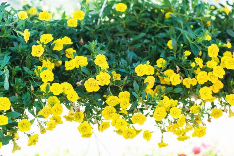 Terras hybride petunia met kleine gele bloemen in een opgeschorte pot stock afbeeldingen