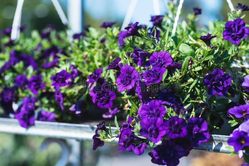 Terras hybride petunia met kleine purpere bloemen in een opgeschorte pot royalty-vrije stock fotografie