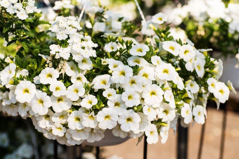 Terras hybride petunia met kleine witte bloemen in een opgeschorte pot stock foto's