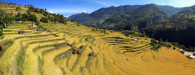 terrass för rice för fältpaddypanorama arkivbild