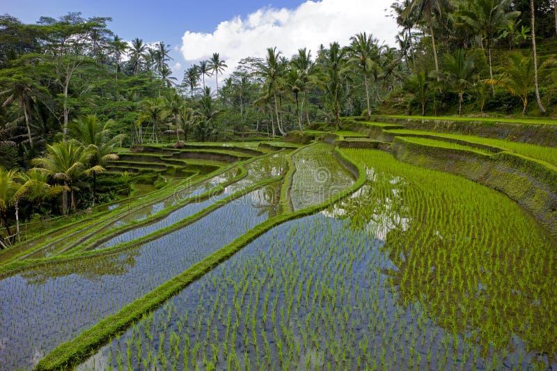 Terrasse de gisement de riz image stock