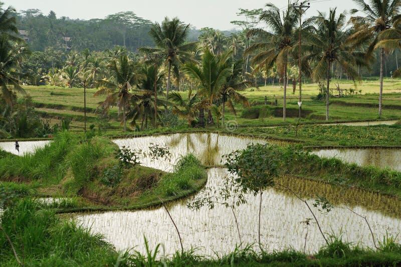 Terrasse de riz photographie stock