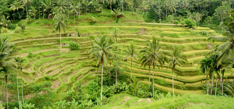 Terrasse de riz dans Bali photos libres de droits