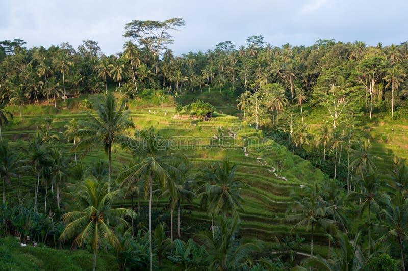 Terrasse de riz de Tegalalang dans Ubud, Bali photos libres de droits