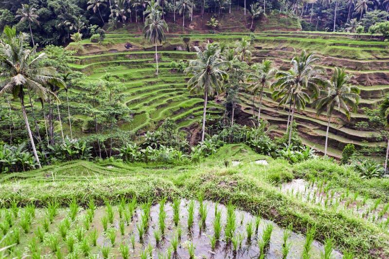 Terrasse de riz de Tegalalang, Ubud, Bali images stock