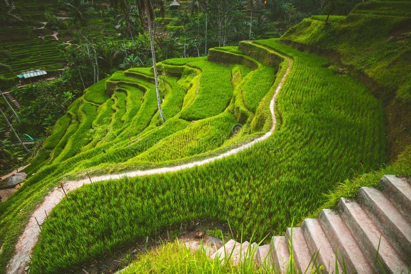 Terrasse de riz de Tegalalang dans l'Ubud, Bali photo stock