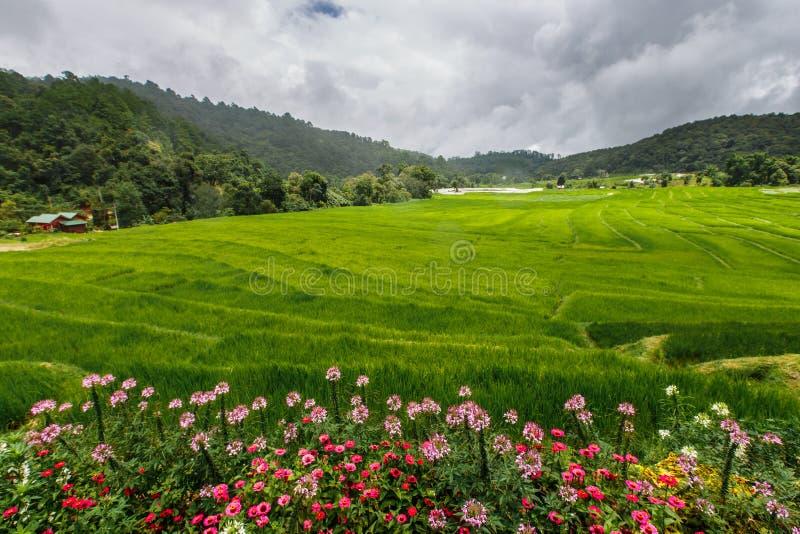 Terrasse verte de gisement de riz avec la voie sur la montagne avec des fleurs photos stock