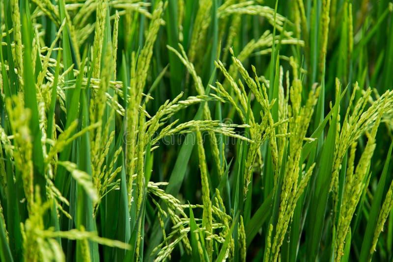 Terrasse verte de riz de champ chez Bali, Indonésie photos libres de droits