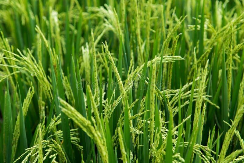 Terrasse verte de riz de champ chez Bali, Indonésie photo stock