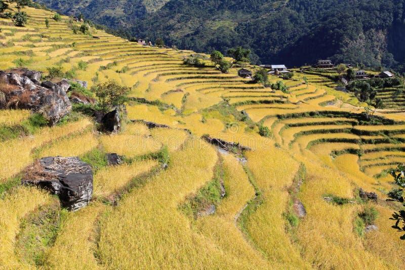 Terrassen-Reis Paddy Field lizenzfreie stockfotografie