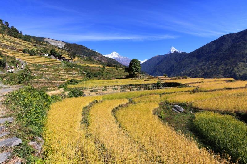 Terrassen-Reis Paddy Field, Nepal stockbilder
