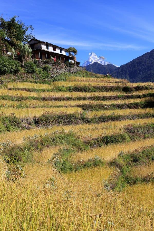 Terrassen-Reis Paddy Field, Nepal lizenzfreie stockbilder