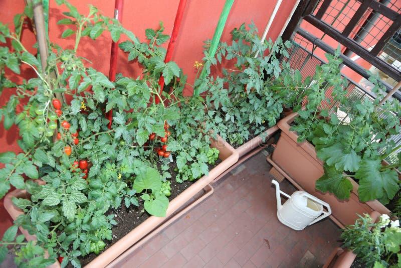 Terrassera med tomatväxter som är fullvuxna inom krukorna arkivfoto