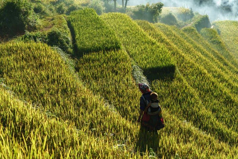 Terrasserad risfält i skördsäsong på solnedgången med den etniska kvinnan som går på fält i Mu Cang Chai, Vietnam royaltyfri fotografi