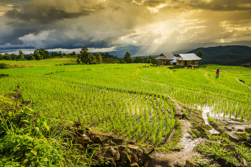 Terrasserad risfält med solstrålar och dramatisk himmel i PA Pong Pieng Chiang Mai Thailand arkivfoton