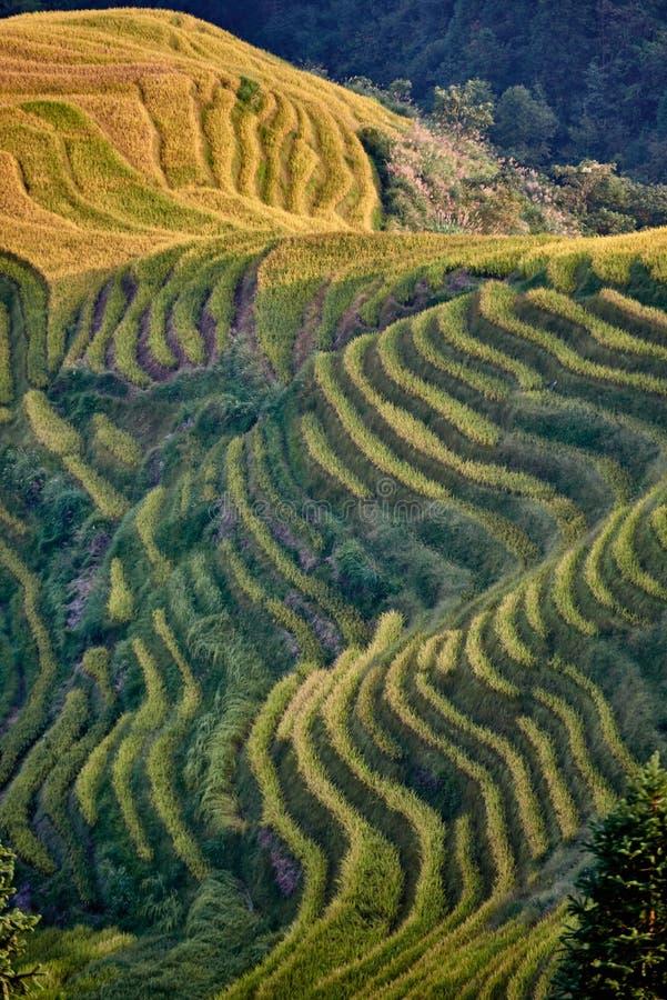 Terrasserat ris sätter in den Wengjia longjien Longsheng royaltyfri foto