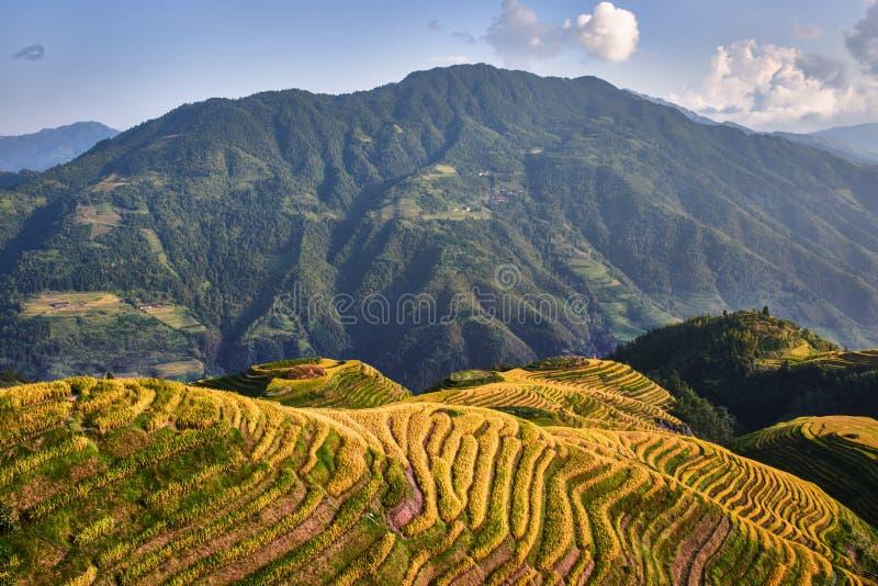 Terrasserat ris sätter in den Wengjia longjien Longsheng Hunan Kina arkivfoton