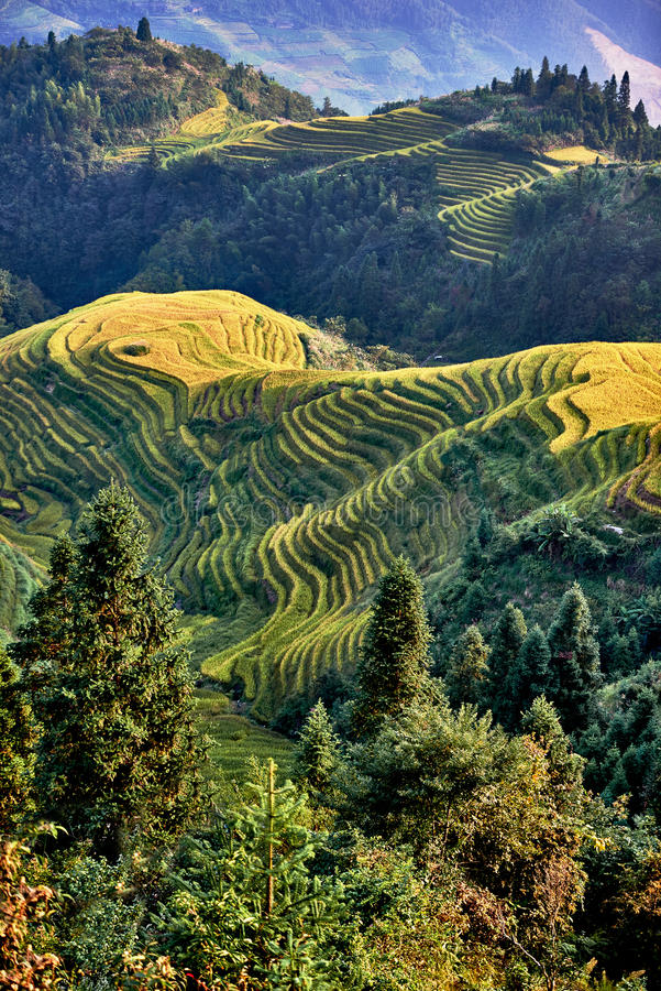 Terrasserat ris sätter in den Wengjia longjien Longsheng Hunan Kina royaltyfri foto