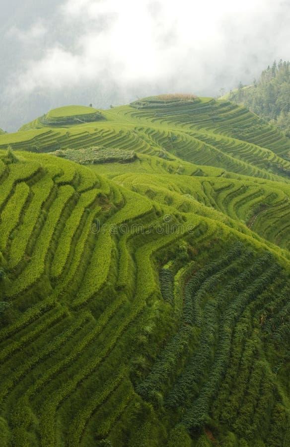 Terrasses classiques de riz image libre de droits