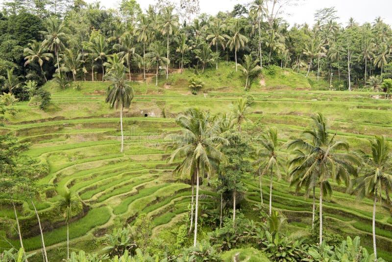 Terrasses de riz, Bali image stock