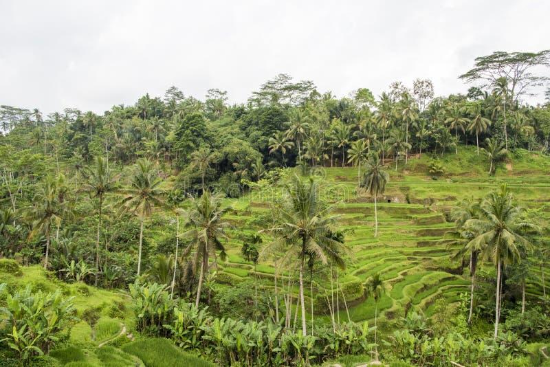 Terrasses de riz, Bali photo stock