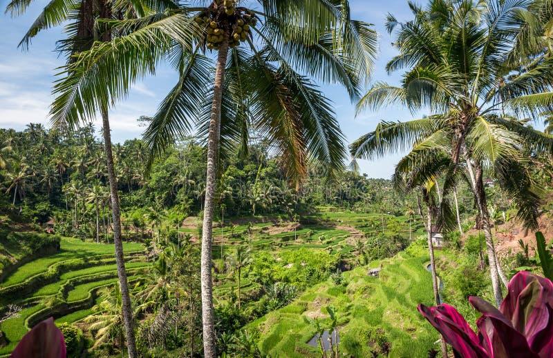 Terrasses de riz, Bali photos libres de droits