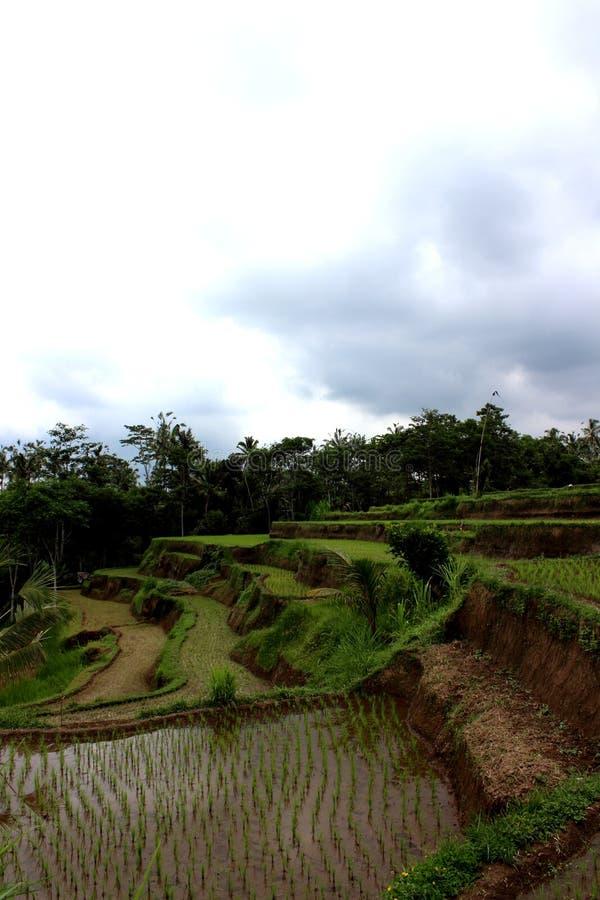 Terrasses de riz dans l'ubud images stock