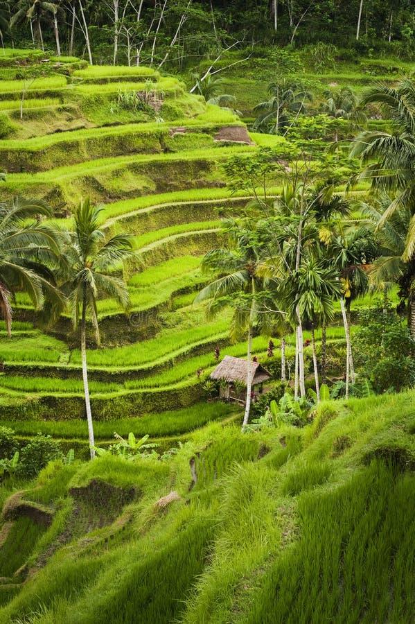Terrasses de riz de Bali photographie stock libre de droits