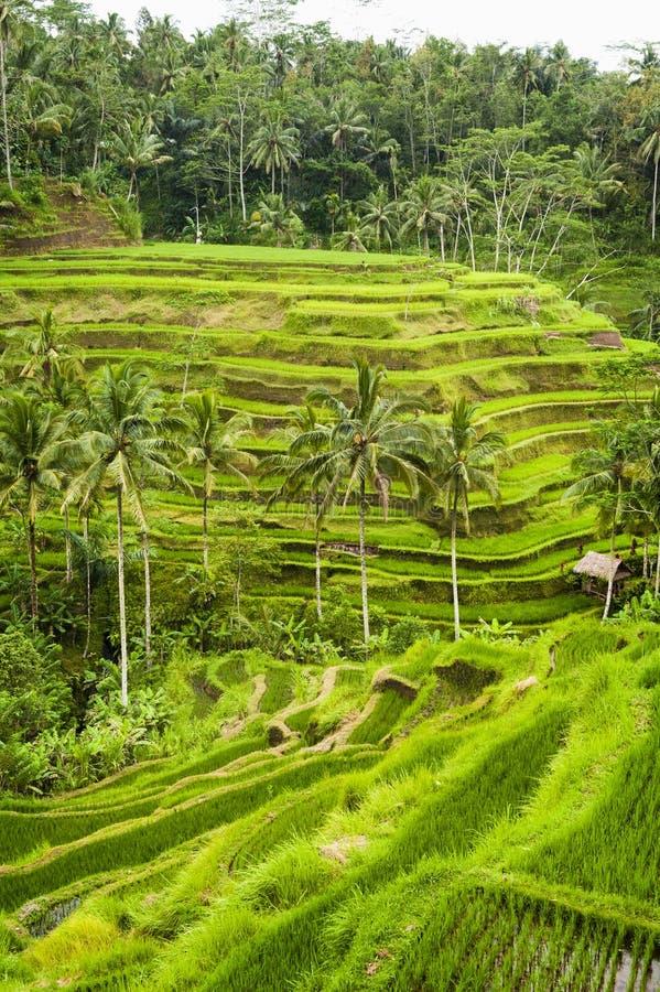 Terrasses de riz de Bali images stock