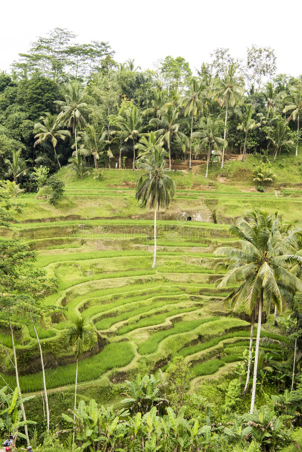 Terrasses de riz de Bali photos libres de droits