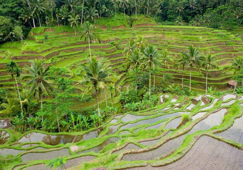Terrasses de riz de bali, Indonésie photos stock