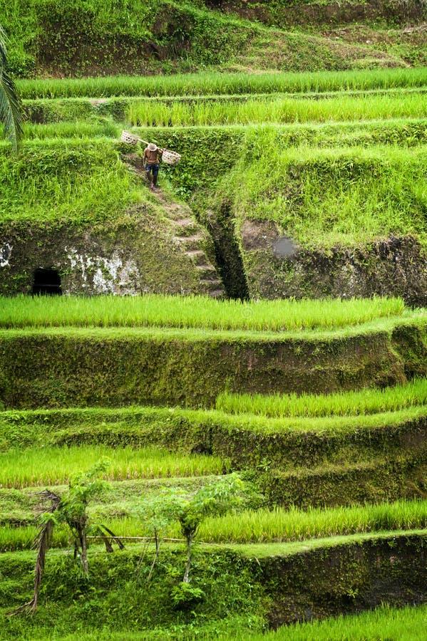 Terrasses de riz de Tegallalang dans Bali photographie stock