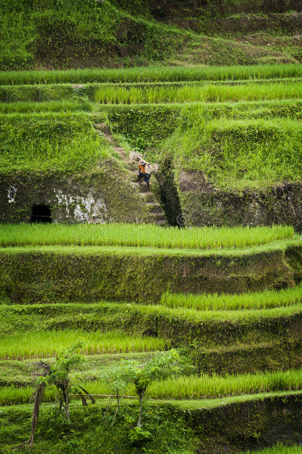 Terrasses de riz de Tegallalang dans Bali photo stock