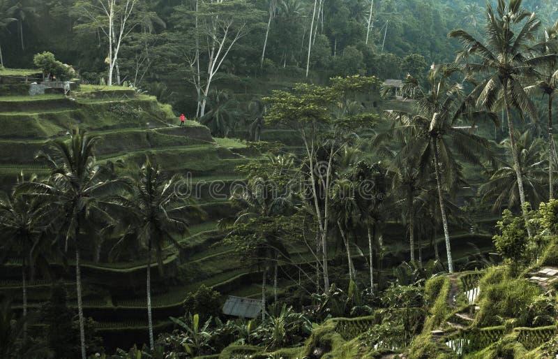 Terrasses de riz en Indonésie photo libre de droits