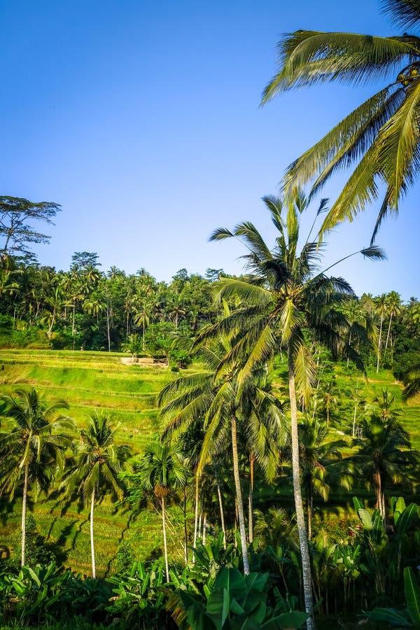 Terrasses de riz de rizi?re, ceking, Ubud, Bali, Indon?sie photographie stock libre de droits