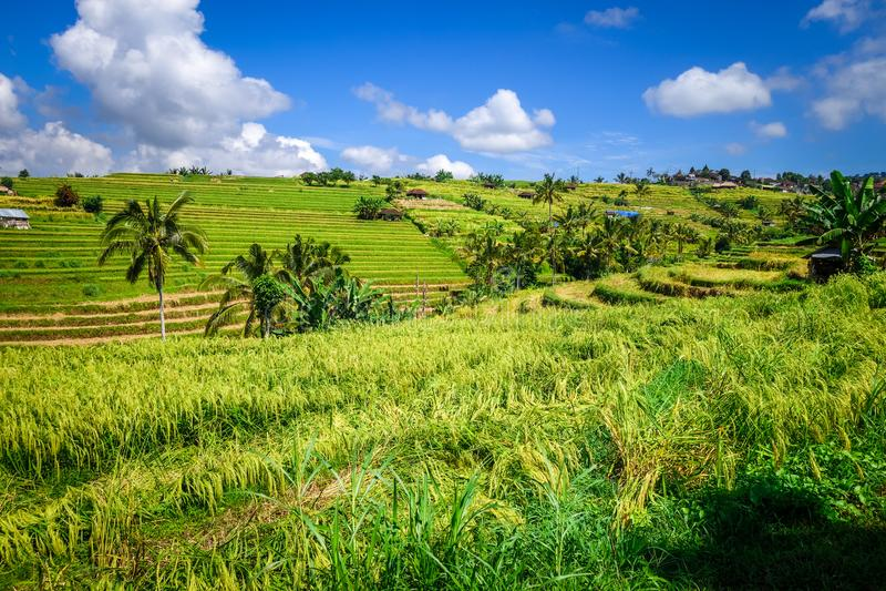 Terrasses de riz de rizi?re de Jatiluwih, Bali, Indon?sie images libres de droits