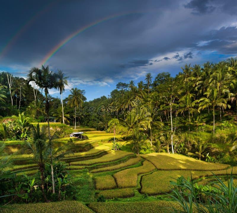 Terrasses de riz de Tegallalang dans Bali photos libres de droits