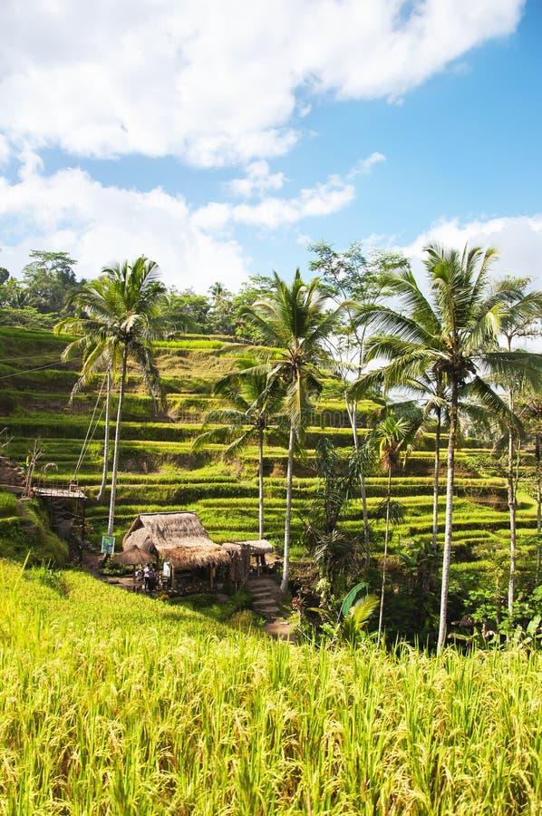 Terrasses de riz de Tegallalang Ubud, Bali, Indonésie Beaux gisements verts de riz, fond naturel concept de course image stock