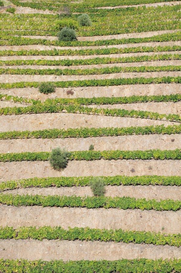 Terrasses de vignoble du Portugal de vallée de Douro image libre de droits