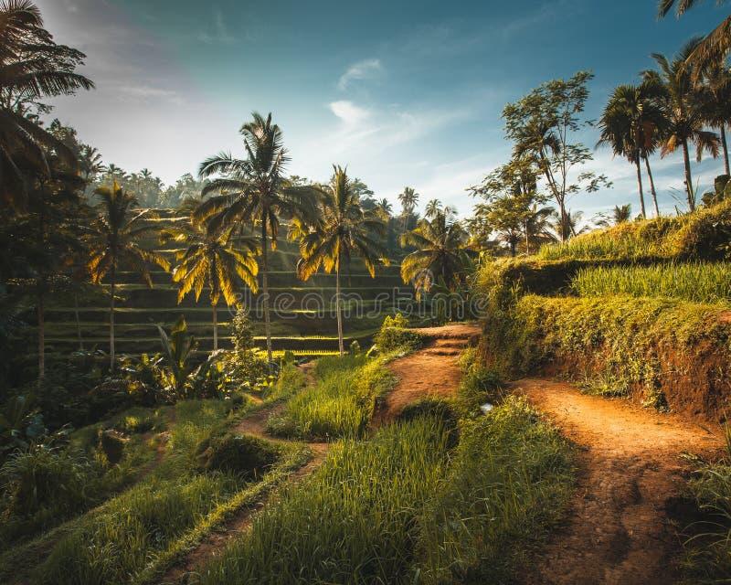 Terrasses vertes de riz de Tegalalang dans Ubud photographie stock libre de droits