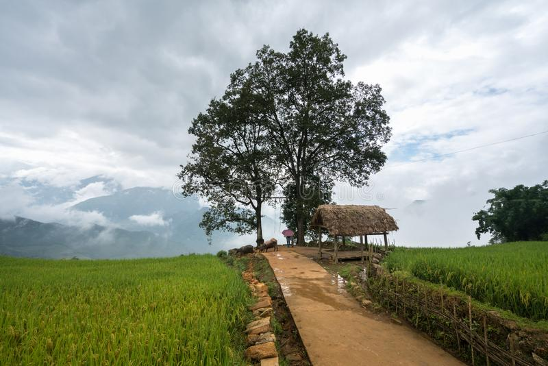 Terrasvormig padieveld met groot boomlandschap van Y Ty, het district van Knuppelxat, Lao Cai, Noord-Vietnam royalty-vrije stock foto's
